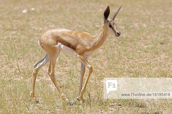 Springbock (Antidorcas marsupialis),  junges Männchen,  Kgalagadi Transfrontier Park,  Nordkap,  Südafrika