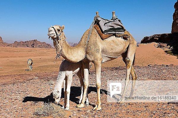 Dromedar (Camelus dromedarius) mit Kalb  Wadi Rum  Jordanien  Asien