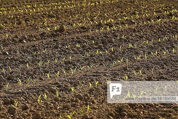 Junge Maispflanzen auf dem Acker  Department Puy de Dome  Auvergne-Rhone-Alpes  Frankreich  Europa