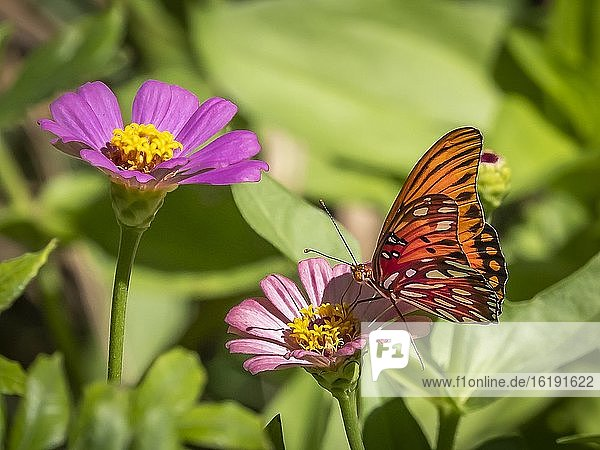 Close-up of a Gulf Fritillary butteryfly  Avgraulis vanillae nigrior  on a flower.