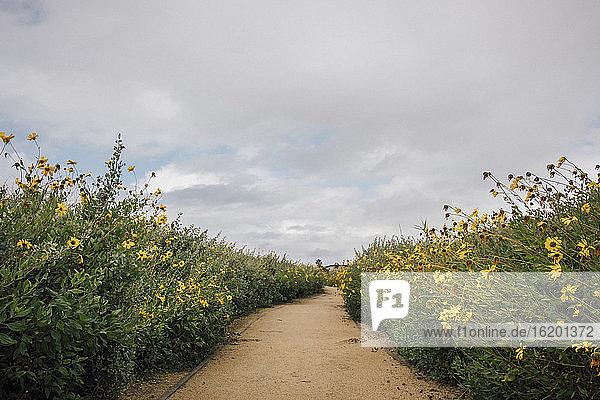 Busch-Sonnenblume  Encelia californica  wächst entlang eines Weges in der Nähe von Santa Barbara  Kalifornien  USA.