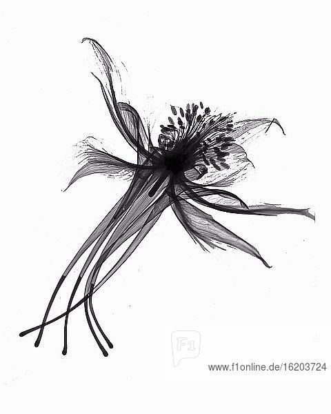 X-ray image of columbine flower