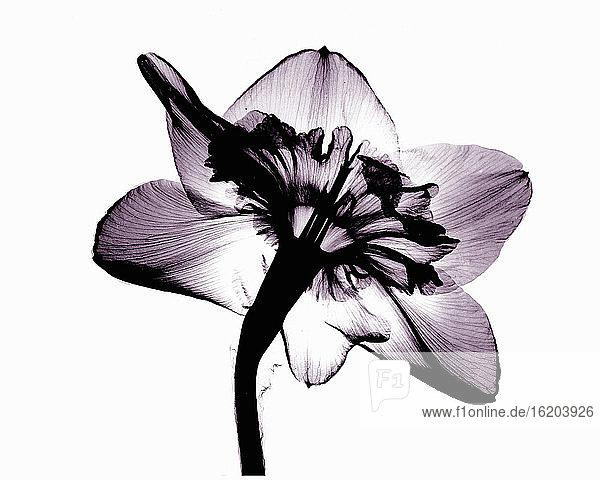 Image of daffodil flower