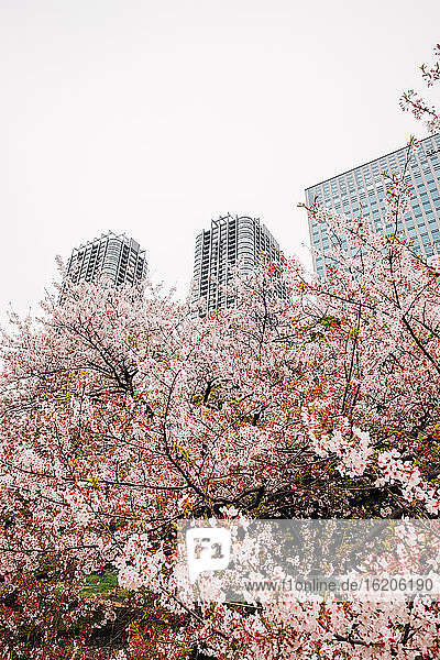 Cherry blossom tree with high-rise buildings in background  Tokyo  Japan