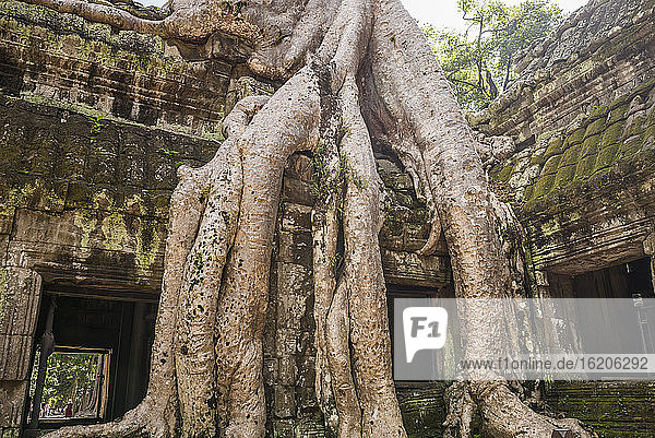 Temple ruins and overgrown tree roots at Ta Phrom  Angkor Wat  Cambodia