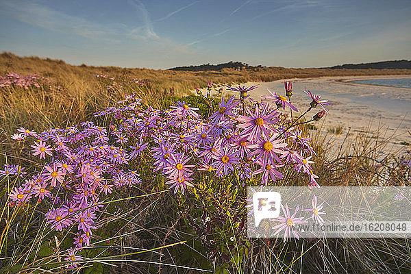 Seeaster (Tripolium pannonicum) blüht im Frühling in den Dünen von Pentle Bay  auf der Insel Tresco  auf den Scilly-Inseln  England  Vereinigtes Königreich  Europa