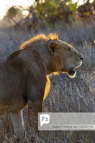 Ein junger männlicher Löwe (Panthera leo) im Busch  Taita Hills Wildlife Sanctuary  Kenia  Ostafrika  Afrika