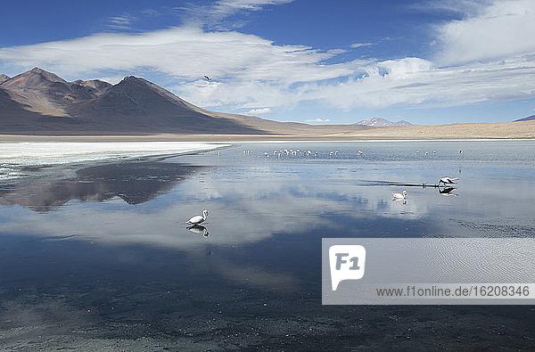 Laguna Canapa mit Flamingo-Fütterung  Potolsi  Bolivien  Südamerika