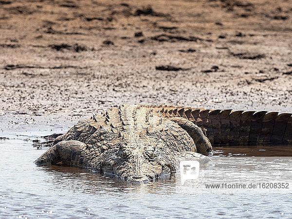 Ein erwachsenes Nilkrokodil (Crocodylus niloticus)  das sich am Ufer des Karibasees in der Sonne sonnt  Simbabwe  Afrika