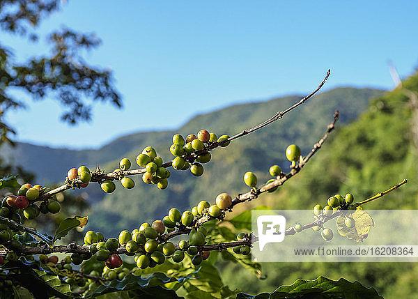 Kaffeekirschen auf der Kaffeeplantage  Blue Mountains  Gemeinde Saint Andrew  Jamaika  Westindische Inseln  Karibik  Mittelamerika