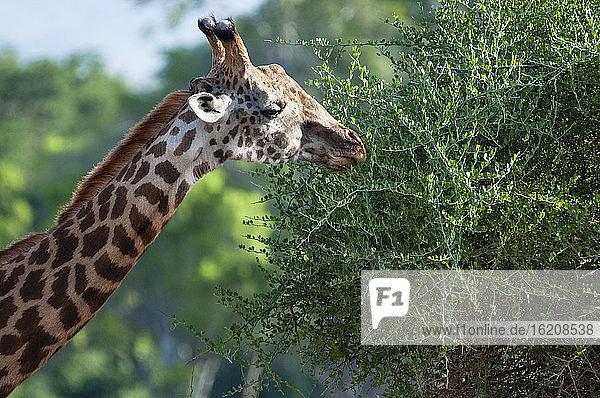 Männliche Maasai-Giraffe (Giraffa tippelskirchi)  Tsavo-Ost-Nationalpark  Kenia  Ostafrika  Afrika