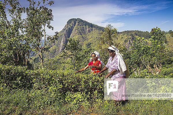 Teepflückerinnen  Ella  Uva-Provinz  Sri Lanka  Asien