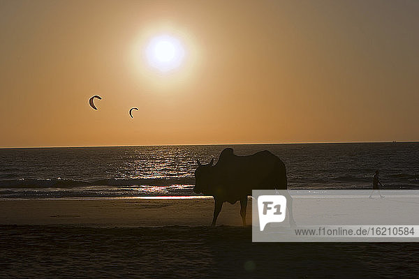 India  Kerala  silhouette of cow on beach at sunset