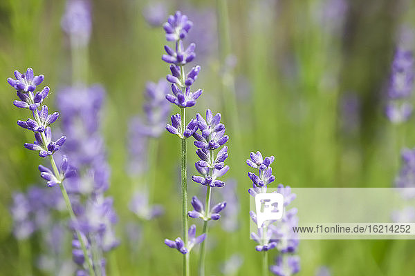 Germany  Saxony  Lavender flower  close up