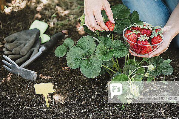 Close-up of mid adult woman hands picking strawberries in garden