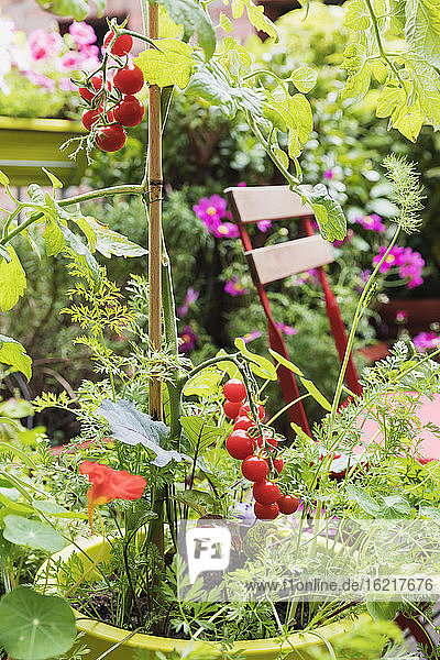 Tomatoes and various herbs growing in balcony garden