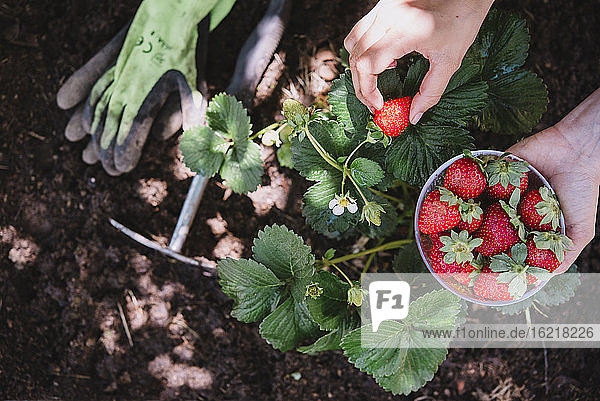 Close-up of woman hands picking strawberries from plant in garden