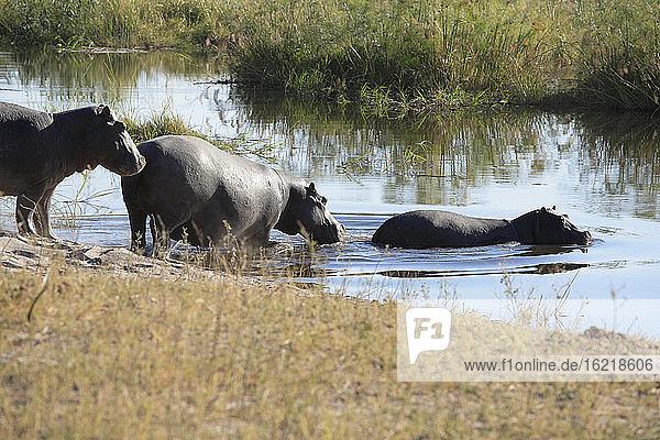 Africa,  Botswana,  Okavango Delta,  Hippopotami (Hippopotamus amphibius) crossing river