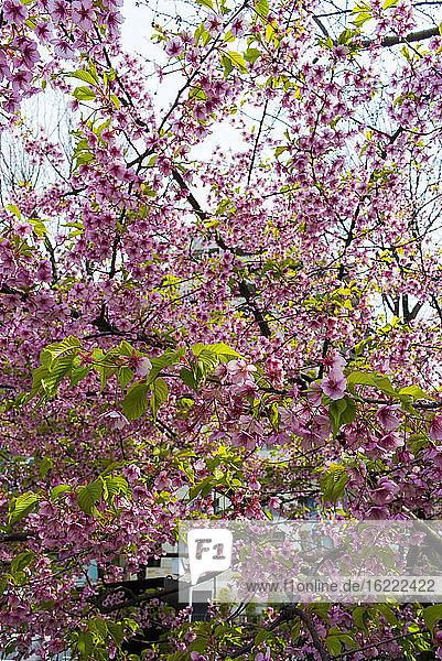 Blooming cherry trees  Tokyo  Japan.