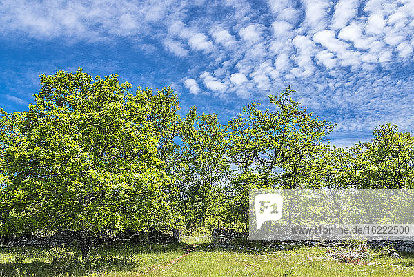 France  Lot  Causses regional Natural Park of Quercy  Natural Sensitive Space of Brauhnie  small dry stone wall of a ewes park and downy oak tree