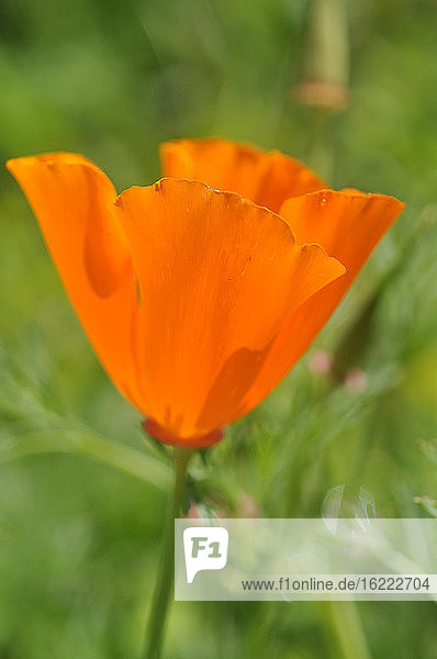 France  Brittany  Taupont  flower of Eschscholzia californica  California poppy  Papaveraceae.