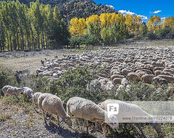 Spanien  Autonome Gemeinschaft Aragonien  Provinz Teruel  Sierra de Albarracin Comarca  Sierra de Albarracin  Naturschutzgebiet Montes Universales  Schafherde