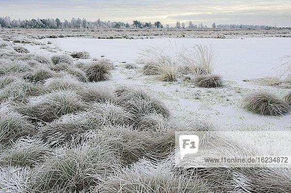 Schnee im winterlichen Moor  Bentgras  Goldenstedter Moor  Oldenburger Münsterland  Goldenstedt  Niedersachsen  Deutschland  Europa