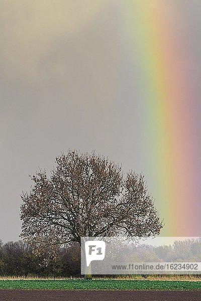 Eiche (Quercus) mit Regenbogen Achim  Niedersachsen  Germany