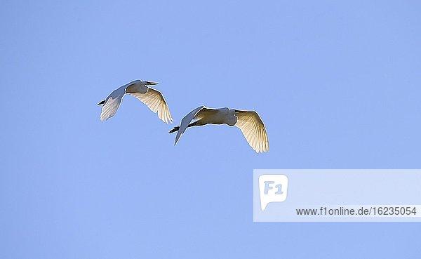 Silberreiher (Ardea alba)  fliegend  Donauauen  Lobau  Niederösterreich  Österreich  Europa