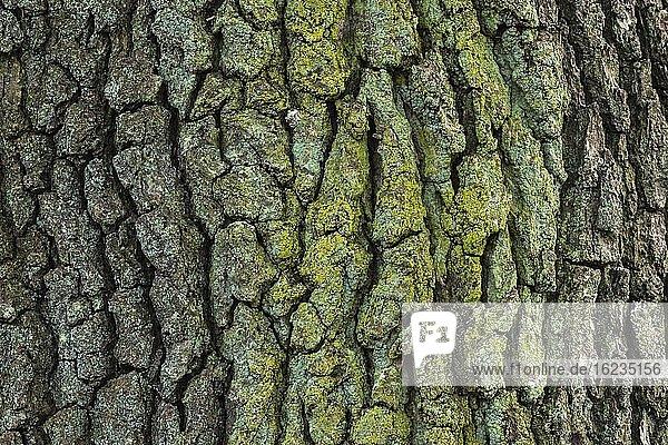 Struktur der Baumrinde einer Eiche (Quercus)  Hintergrundbild  Zandvoort  Niederlande  Europa