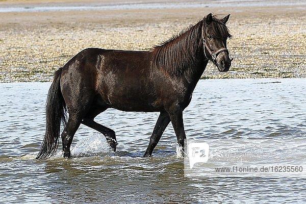 Islandpferd (Equus islandicus)  Stute watet bei Ebbe durch Meerwasser  Nordseeküste  Schleswig-Holstein  Deutschland  Europa