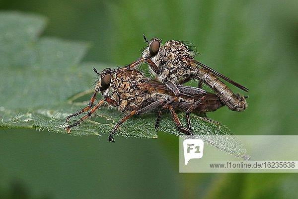 Raubfliegen (Asilidae)  Paarung  Schleswig-Holstein  Deutschland  Europa
