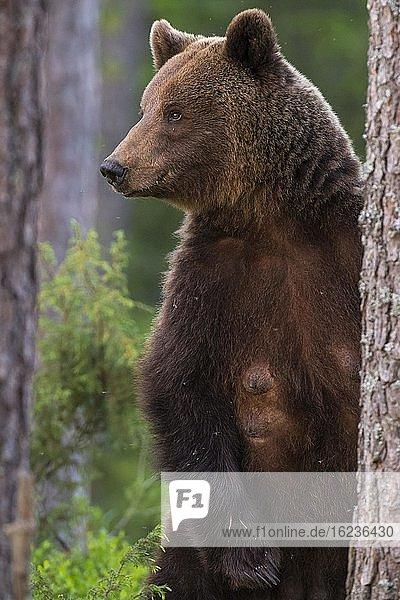 Weiblicher Braunbär (Ursus arctos) im borealen Nadelwald  Porträt  Suomussalmi  Karelien  Finnland  Europa
