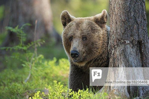 Porträt eines Braunbären (Ursus arctos) im borealen Nadelwald  Suomussalmi  Karelien  Finnland  Europa