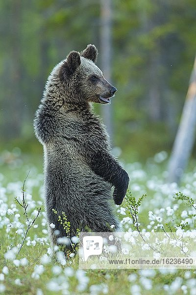 Braunbär (Ursus arctos) aufrecht stehend in einem Moor mit fruchtendem Wollgras  Suomussalmi  Karelien  Finnland  Europa