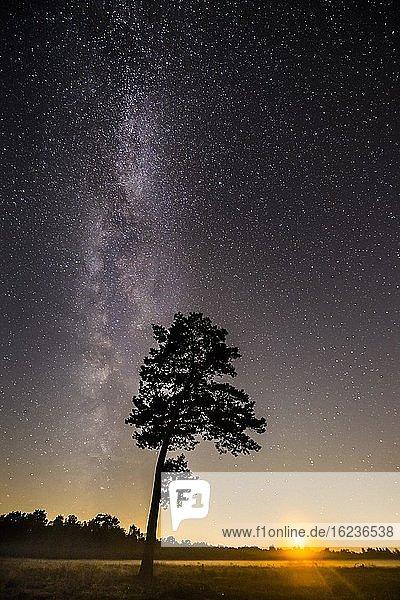 Sternenhimmel mit Milchstraße über Kiefern (Pinus) im Venner Moor  Vörden  Niedersachsen  Deutschland  Europa