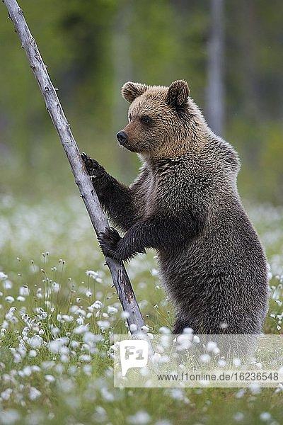 Braunbär (Ursus arctos) aufrecht stehend in einem Moor mit fruchtendem Wollgras  aufmerksam  sichernd  Suomussalmi  Karelien  Finnland  Europa