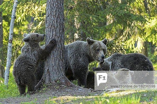 Familie des Braunbären (Ursus arctos) spielt im borealen Nadelwald  Suomussalmi  Karelien  Finnland  Europa