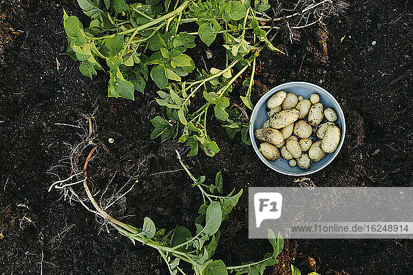 Potatoes and potatoes plants