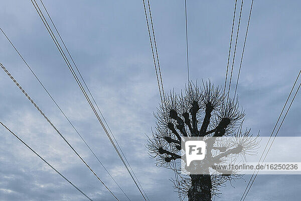 Bare tree under electricity line