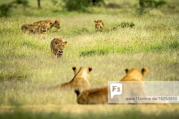 Löwin (Panthera leo)  die durch ein Feld mit langem Gras läuft  während der Rest des Rudels zuschaut; Tansania