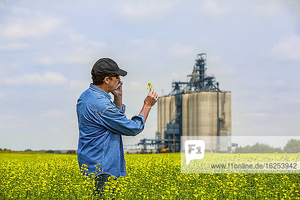 Farmer standing in a canola field using a smart phone and inspecting the yield with a grain storage facility in the background; Alberta  Canada