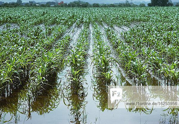 Landwirtschaft - Maisfeld mit frühem Wachstum  stehendes Wasser  schlechte Drainage / Colorado  USA.
