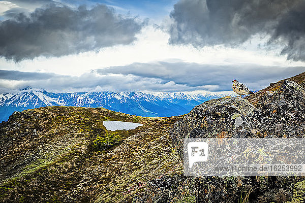 Ptarmigan in springtime with colour on the rock at Bird Ridge  Chugach State Park  South-central Alaska in summertime; Alaska  United States of America