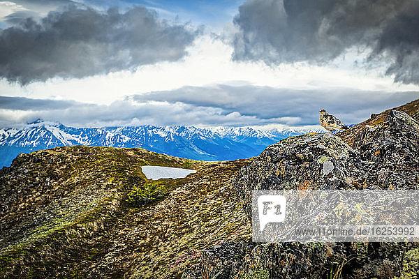 Schneehuhn im Frühling mit Farbe auf dem Felsen am Bird Ridge  Chugach State Park  Süd-Zentral-Alaska im Sommer; Alaska  Vereinigte Staaten von Amerika