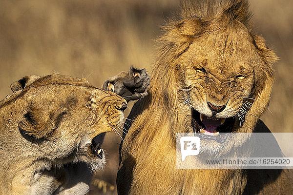 Nahaufnahme einer wütenden Löwin  die einen männlichen Löwen während eines Kampfes ohrfeigt; Tansania
