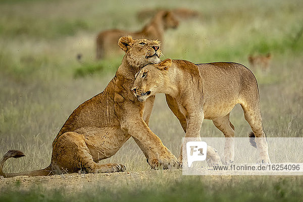 Two lionesses (Panthera leo) nuzzling each other in grass; Tanzania