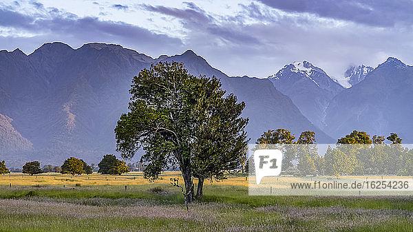 Großer Baum auf einem Grasfeld mit Bergen im Hintergrund  entlang des Lake Matheson Walk in der Nähe der Gemeinde Fox Glacier  berühmt für seine spiegelnden Ansichten von Aoraki  Mount Cook und Mount Tasman; Südwestland  Südinsel  Neuseeland