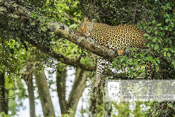 Auf einem Ast schlafender Leopard (Panthera pardus) mit herabhängendem Bein; Kenia