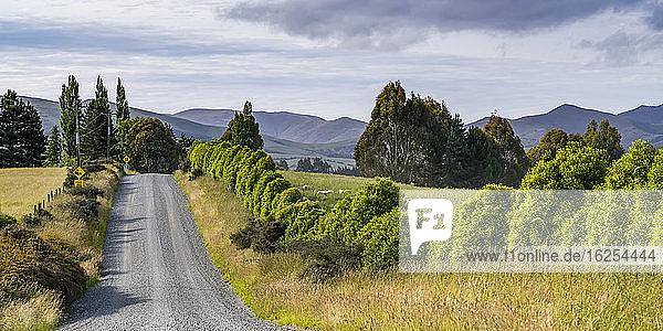 Eine Schafherde (Ovis aries) grast auf saftigem Gras entlang einer Landstraße  Longridge North; Te Anau  Southland Region  Nordinsel  Neuseeland